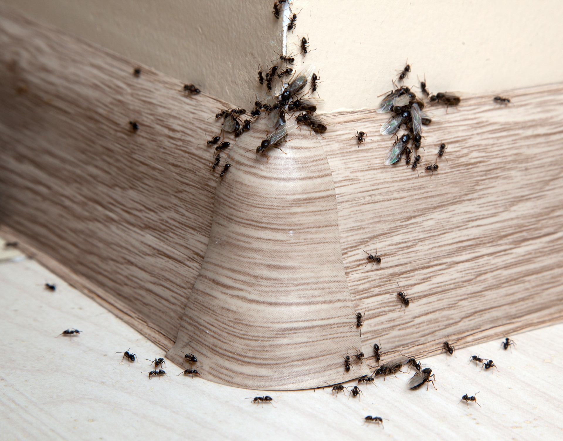 Ant Infestation, Pest Control in North Feltham, East Bedfont, TW14. Call Now 020 8166 9746