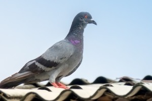 Pigeon Control, Pest Control in North Feltham, East Bedfont, TW14. Call Now 020 8166 9746